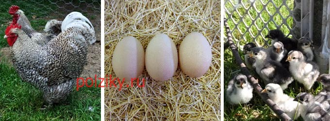Где продают яйца Орпингтонов на инкубацию