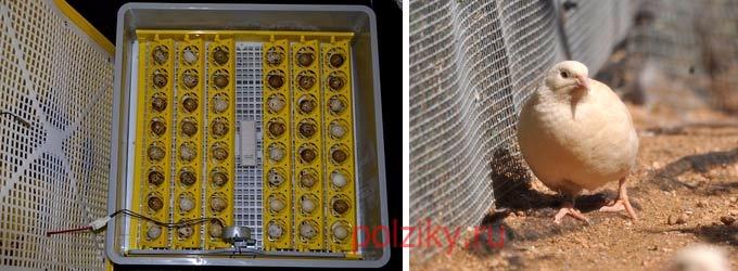 Как должны выглядеть яйца Фараонов для инкубации