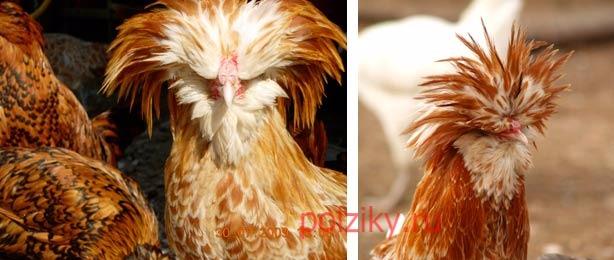 Падуан порода кур — описание и особенности содержания, фото