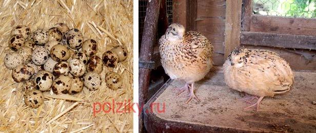 Инкубационные яйца маньчжуров внешний вид