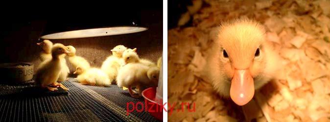Какая стоимость на утиные инкубационные яйца