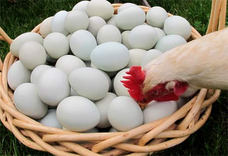 Как куры несут яйца