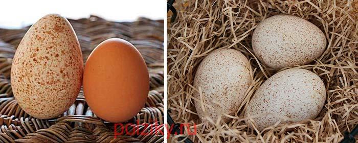 Где можно приобрести индюшачьи яйца