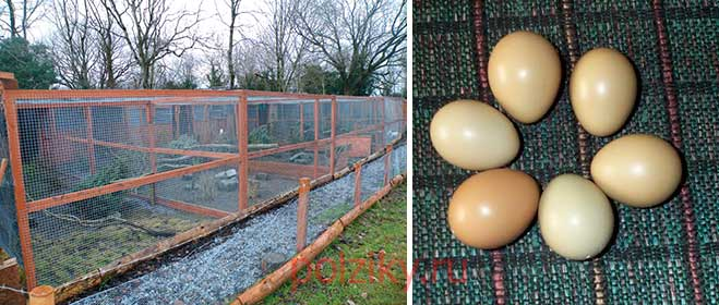 Инкубация фазаньих яиц по првилам