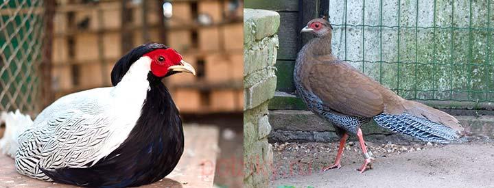 Какие самые популярные породы у фазанов