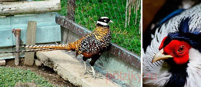 Какую выбрать кормушку для фазанов