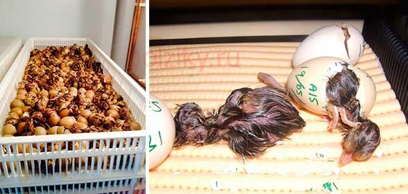 Как выбирать фазаньи яица на инкубацию