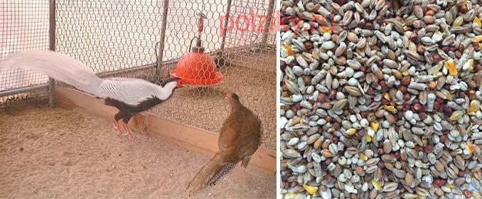 Как составить рацион для фазанов