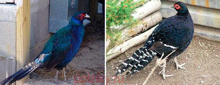 Румынский фазан