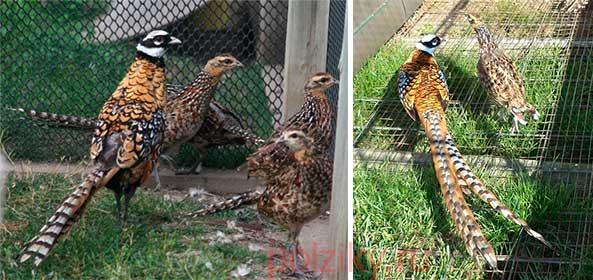 Сколько дней длится инкубация яиц у фазанов