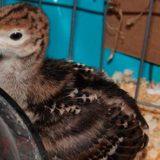Как построить брудер для птенцов индюшат