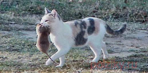 Кошка-крысоловка в приусадебном хозяйстве