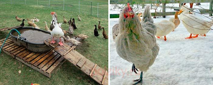 Можно ли содержать кур и водоплавующую птицу