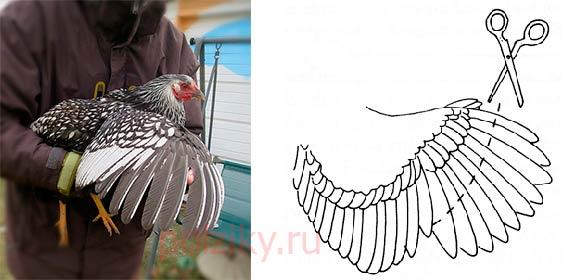 Подрезка крыльев кур