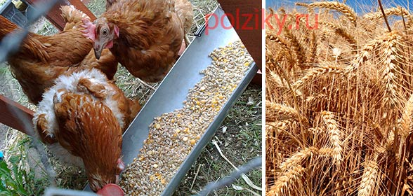 Каким зерном лучше кормить кур