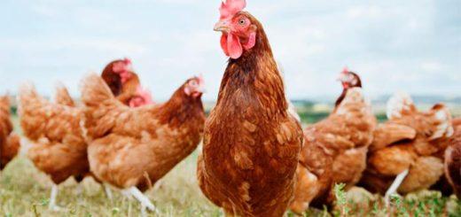 Как проводить сезонную профилактику болезней кур