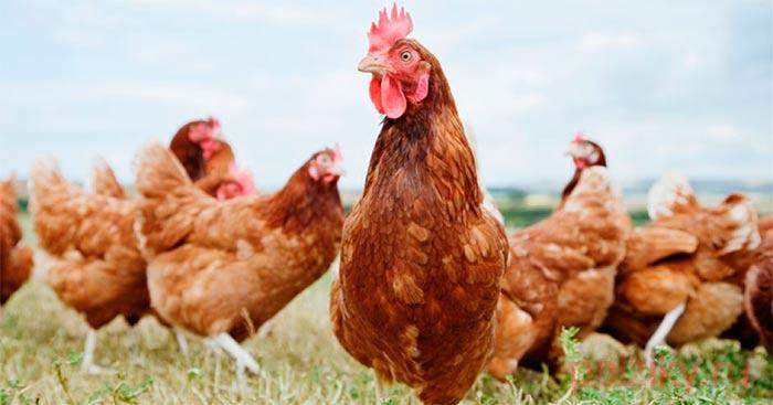 Сезонная профилактика болезней кур