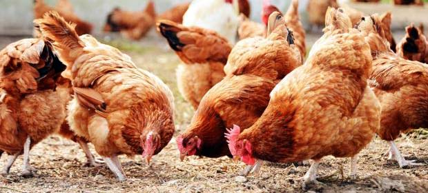 Как улучшить яйценоскость кур зимой и летом