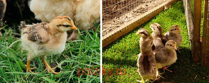 Как ухаживать за цыплятами породы Легбар