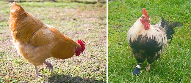 Курица начала хромать