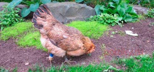 Почему курица может хромать