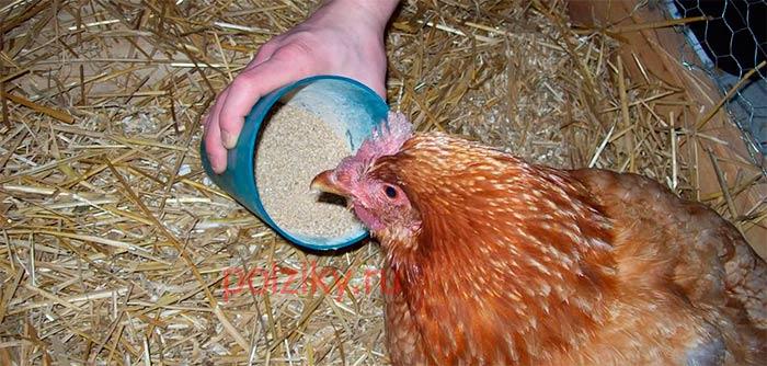 Синий гребень у курицы