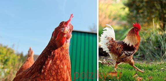 Скрестить разнопородных кур для улучшения яйценоскости