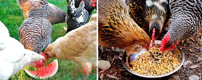 Чем подкармливать кур летом для лучшей яйценоскости
