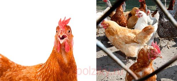 Как избежать сальмонеллеза у кур