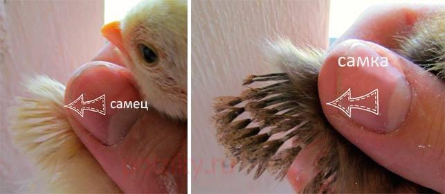 Как отличить суточных птенцов индюков по полу