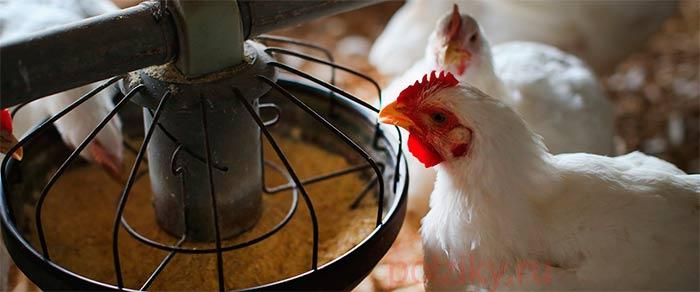 Когда можно есть яйца и мясо птицы после курса антибиотиков