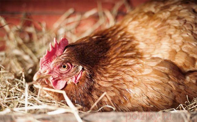 Как научить курицу высиживать яйца