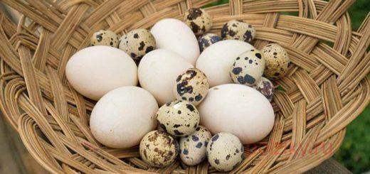 Лучшие породы птицы для разведения на мясо и яйца