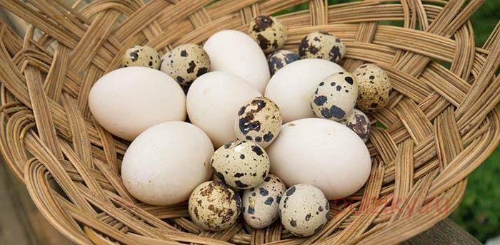 Сколько яиц несет курица несушка