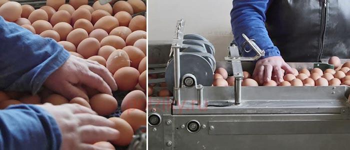 Отбор куриных яиц по категориям на птицефабрике