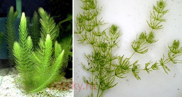 Какими водорослями можно кормить уток