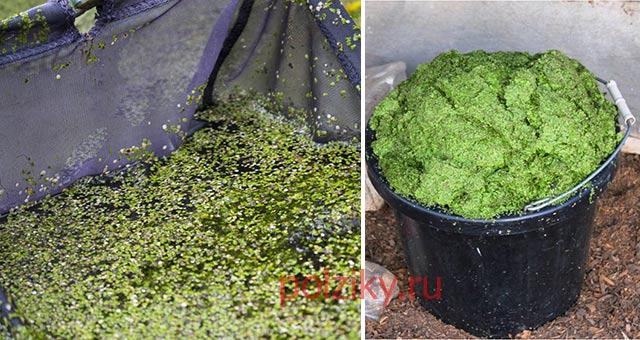 Как вырастить утиную траву для кормления домашних уток