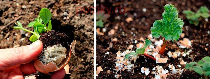 Каким растениям можно подсыпать яичную скорлупу