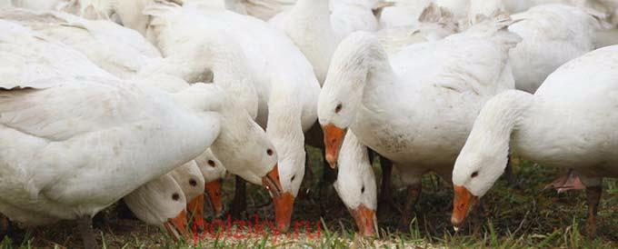 Как кормить гусей зимой