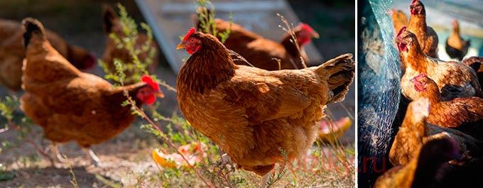Как начать самостоятельно разводить курочек несушек