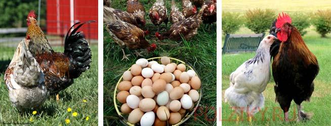 Как оплодотворяются куриные яйца