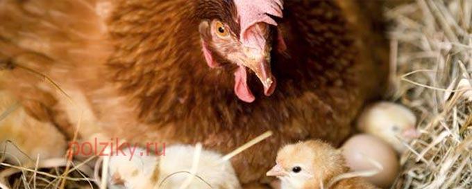 Как подкладывать яйца под курицу