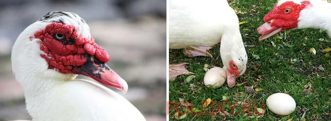 Как понять что мускусным уткам пора садиться на яйца