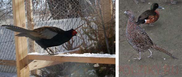 Как содержать фазанов зимой