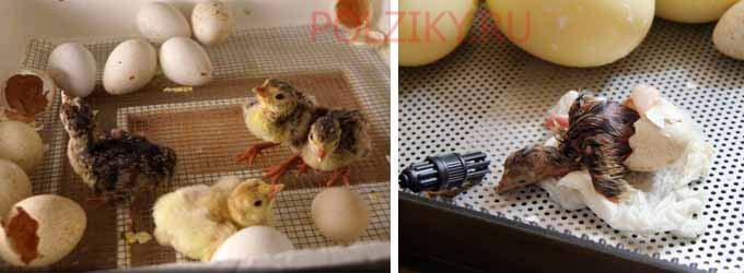 Режим и особенности инкубации индюшиных яиц