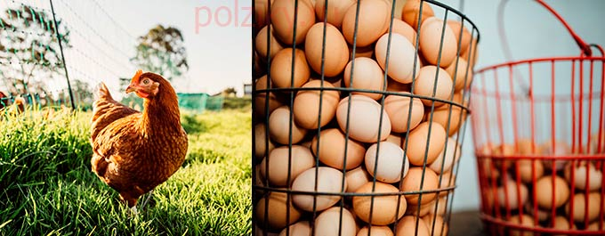 Что делать при нарушении яйцекладки курами несушками