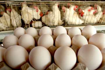 Где купить яйца бройлера