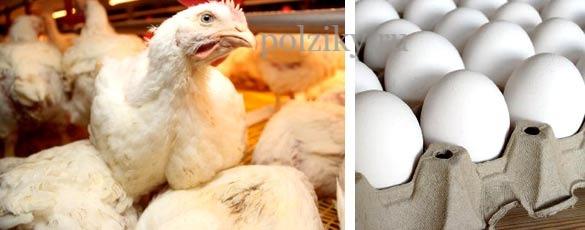Купить яйца бройлера для инкубатора