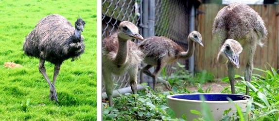 Чем кормить страусов