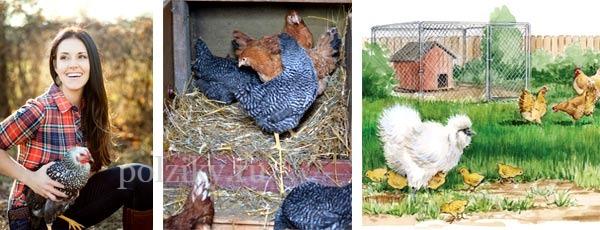 Содержание куриц в домашних условиях